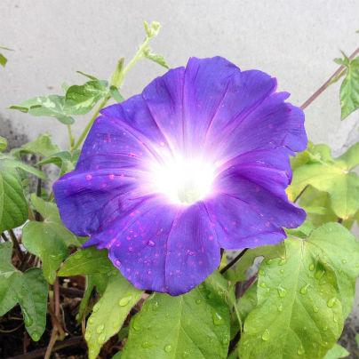 コンクリートの壁を背景に、青紫の朝顔が一輪