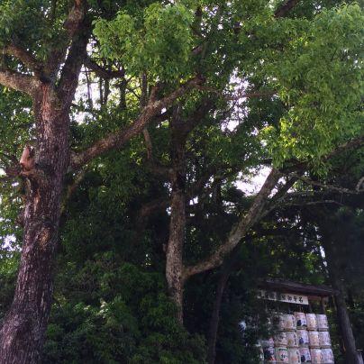 上賀茂神社の境内にある木々