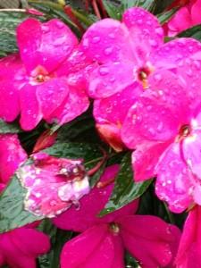 赤いニューギニアインパチェスの花に雨のしずくが載っています。