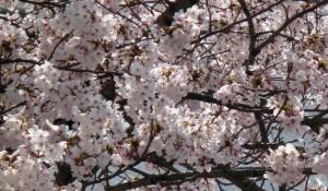 神崎(株)の敷地に植わる桜はすっかり満開。雨に洗われてむしろ綺麗です