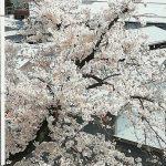 今日の桜・ついに満開
