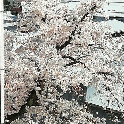 桜が、満開を迎えました