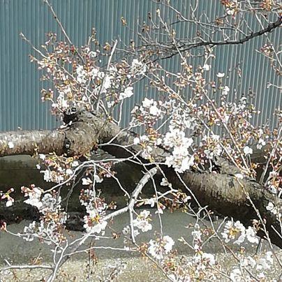 枝に数輪の桜の花が咲いています。