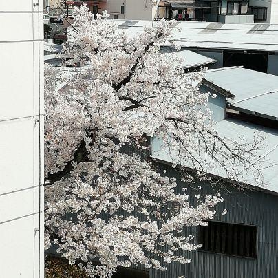 いまがちょうど見頃の桜の花