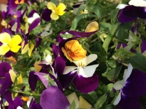 紫色の菫の花の間に黄色の菫が咲いてます。