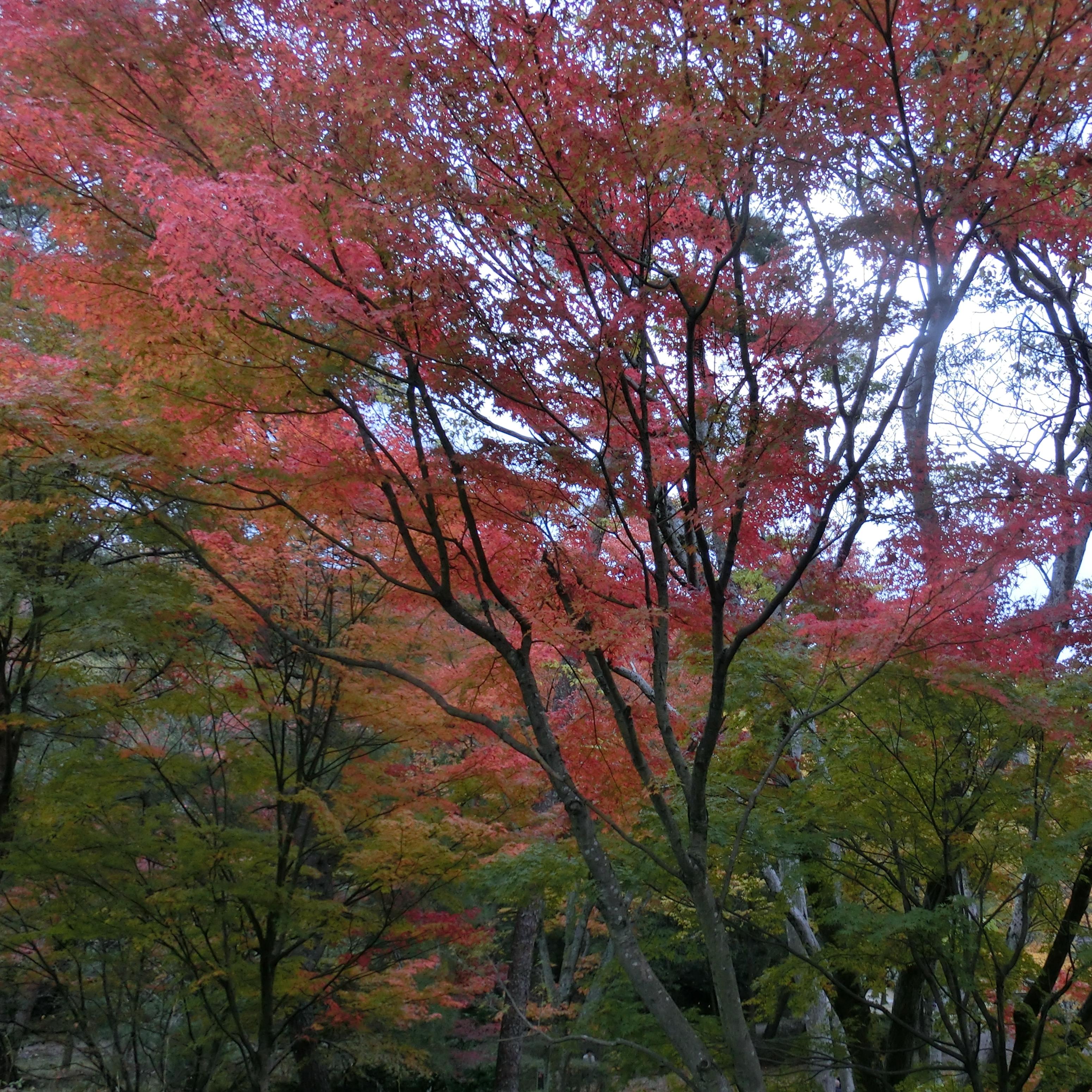 京都の紅葉も色づいて
