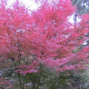 真っ赤に色づいた紅葉が見事