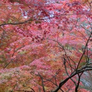 画面いっぱいに赤く色づいた紅葉