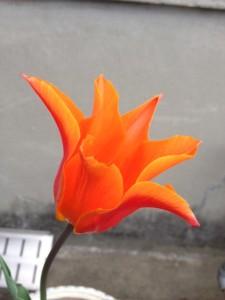 ちょっと変種ですので花が外側に向かって広がったオレンジのチューリップが映っています。